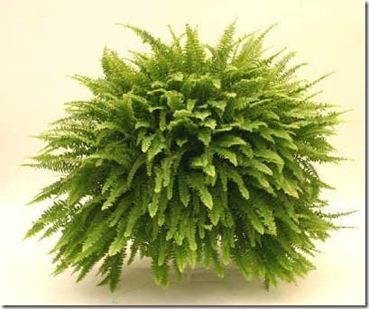 Clases de helechos parte i for Plantas decorativas para jardin