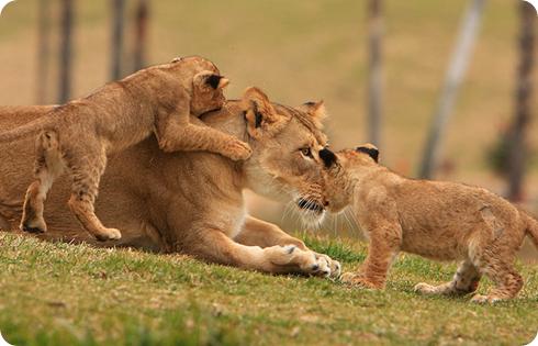 leona y crias