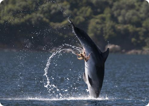 delfín y pulpo