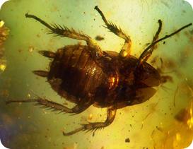 Cucaracha de hace 50 millones de años atrapada en ambar