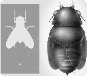 mosca más pequeña del mundo
