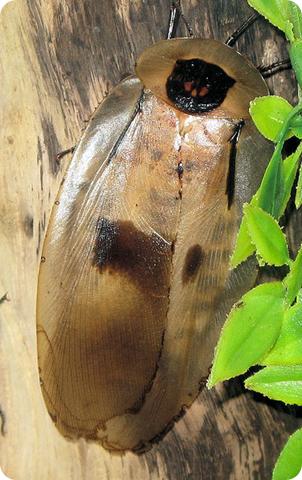 Cucaracha gigante centroamericana