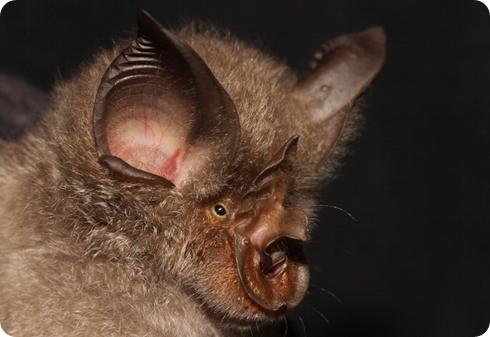 murciélago Rhinolophus smithersi
