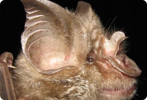 murciélago Rhinolophus mossambicus