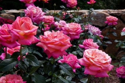 como podar un rosal
