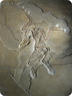 Archaeopteryx, dinosaurio volador