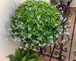planta-dinero-en-flor