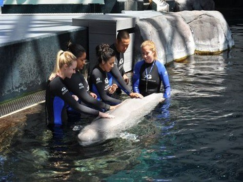 Ballena beluga blanca