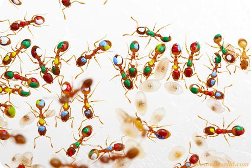 hormigas Temnothorax rugatulus