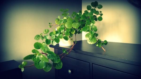cual-es-la-planta-del-dinero-decoracion