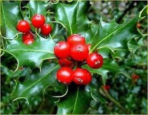 Mu rdago para navidad d nde conseguirlo y cuidados - Cuidados planta navidad ...