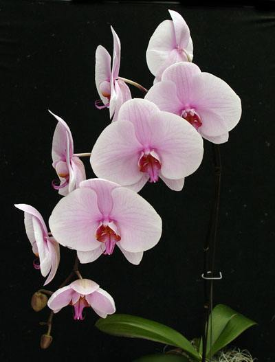 phalaenopsis_orchid_plant