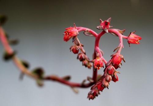 plantas-san-valentin