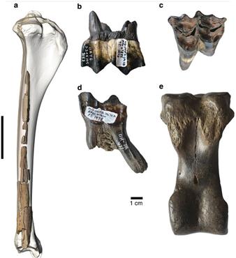 camello gigante fósil