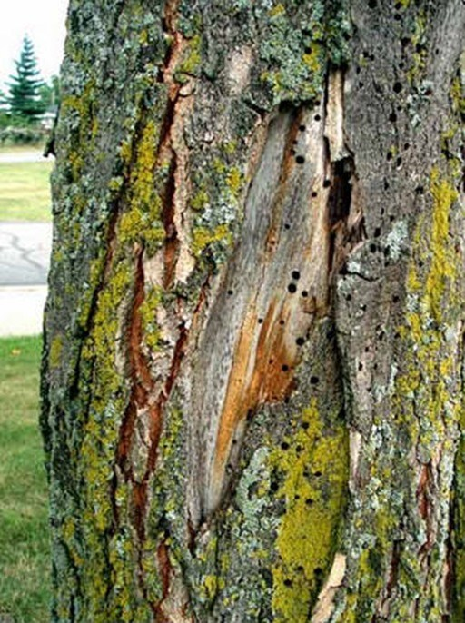 Aumentan las enfermedades en rboles y bosques de todo el for Investigacion de arboles