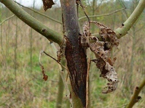 enfermedades de los árboles