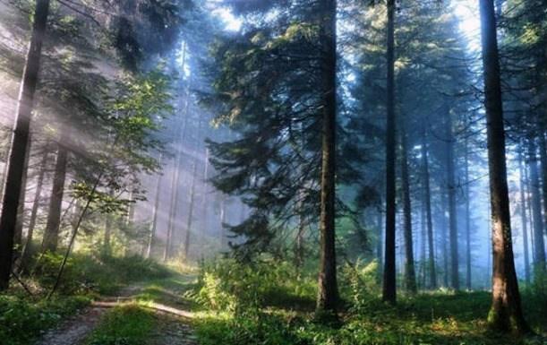 Bosque pinos
