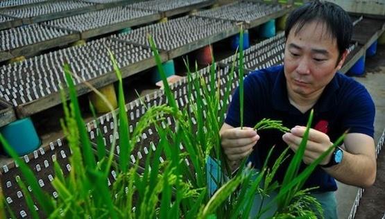 Investigacion-arroz
