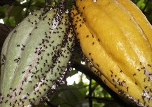 hormigas-rendimiento-cultivos