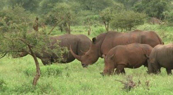 rinocerontes-pasto