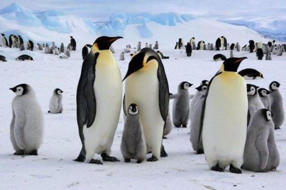 pinguino-emperador2_thumb.jpg