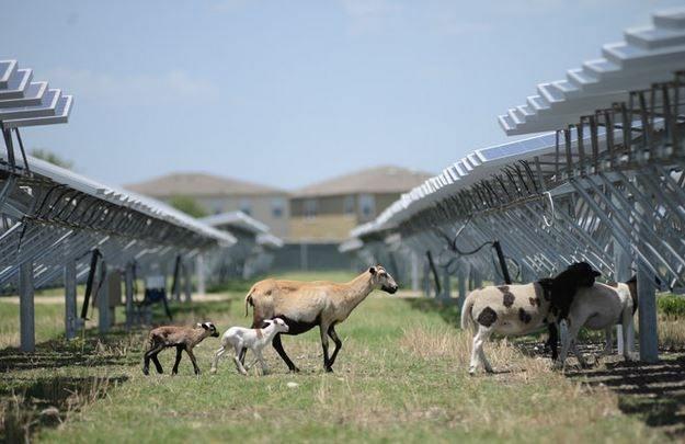 ovejas-jardineras-granja-solar.jpg