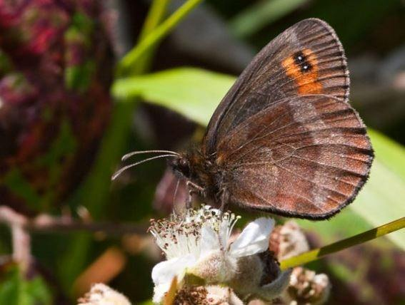 mariposa-argus-brown2.jpg