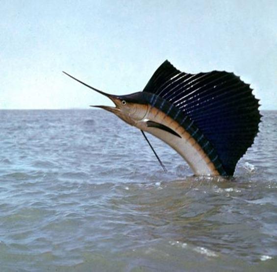 pez-vela2_thumb.jpg