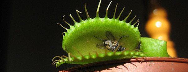 planta carnívora comiendo insecto