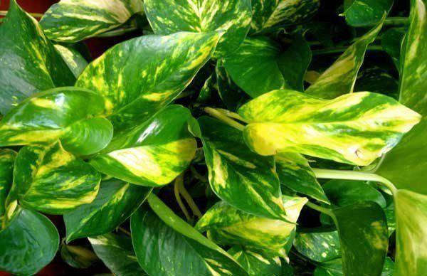 El Potus Poto Una De Las Plantas De Interior Favoritas