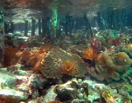 manglares-coral