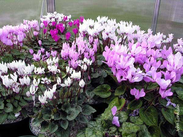 Violeta persa