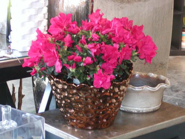 Plantas de interior con flor azalea