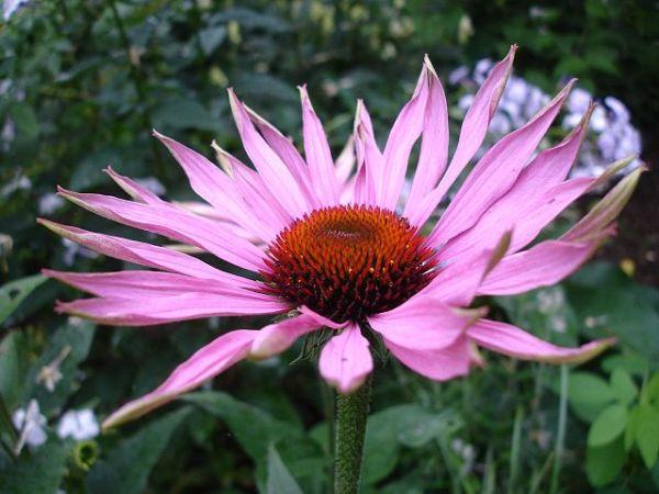 Plantas indestructibles para el jardín Echinacea