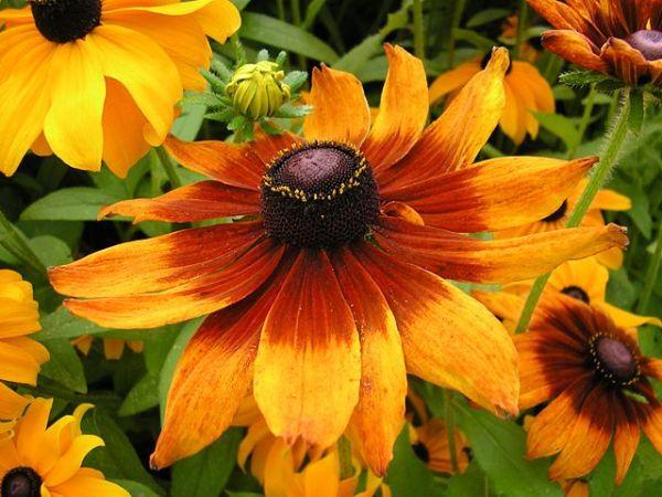 Plantas indestructibles para el jardín Rudbeckia_hirta