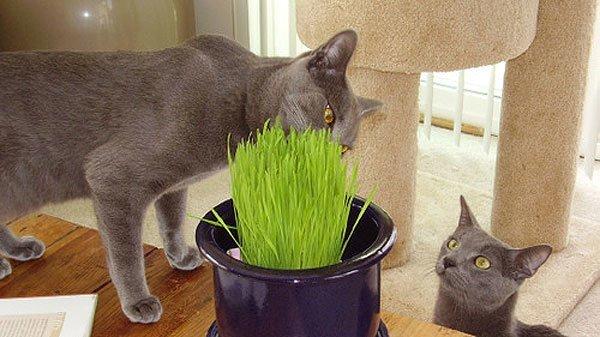 hierba gatos