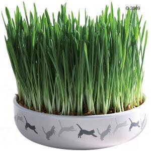 hierba purga gatos
