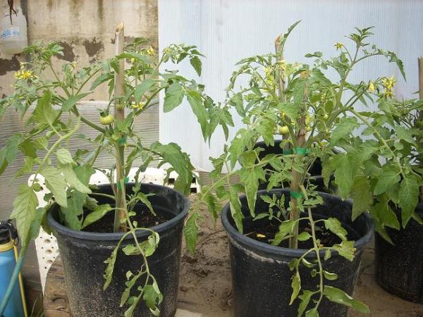 tomates planta