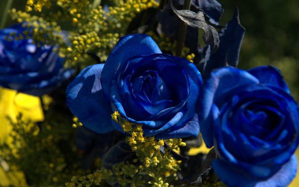 como-plantar-rosas-azules-en-el-jardin-rosal