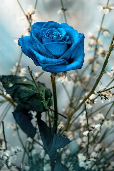 Cómo Plantar Rosas Azules En El Jardín Tendenziascom