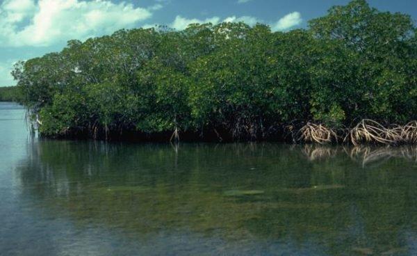 El aumento del nivel del mar ahogará los manglares