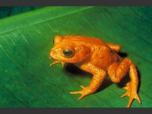 las-fotos-de-10-animales-que-ya-se-han-extinguido-sapo-dorado-600x451
