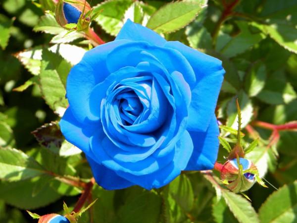 como-plantar-rosas-azules