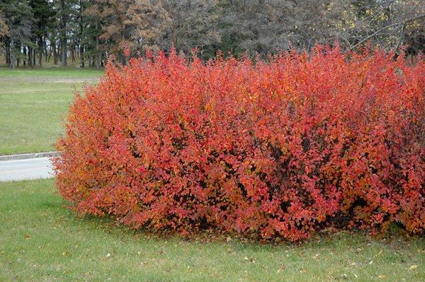 las-plantas-de-exterior-que-aguantan-el-frio-invierno-cotoneaster
