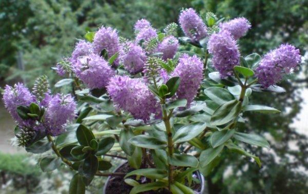 Las plantas de exterior que aguantan el fr o invierno - Plantas perennes exterior ...