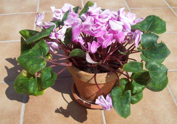 las plantas de exterior que aguantan el fr o invierno On planta perenne en maceta de invierno