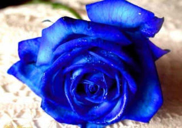 Cómo plantar Rosas Azules en el jardín - Tendenzias.com
