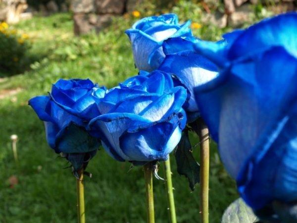 Como Plantar Rosas Azules En El Jardin Tendenzias Com