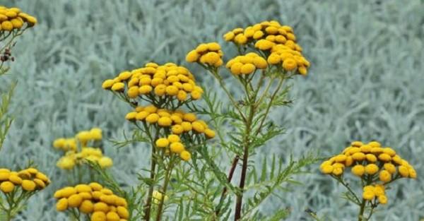 flores-helicriso
