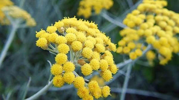 helicrisio-flores